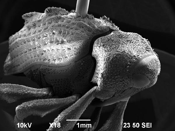 Escarabajo-1